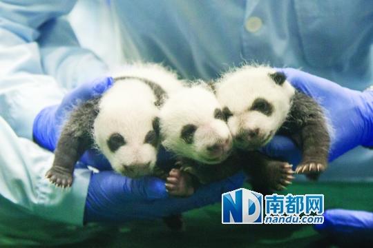 在熊猫三胞胎满月这个喜庆的日子