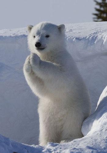 """国家公园里发现了一头""""最会卖萌""""的野生北极熊宝宝,它那可爱的样子让"""