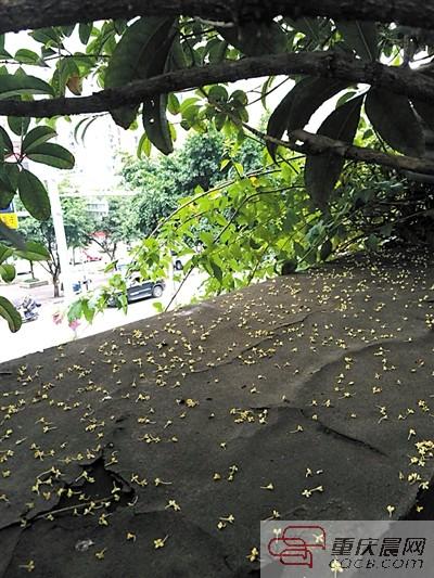 满地桂花香 ▲ 窗外就是桂花树,每天起床就能闻到桂花香.