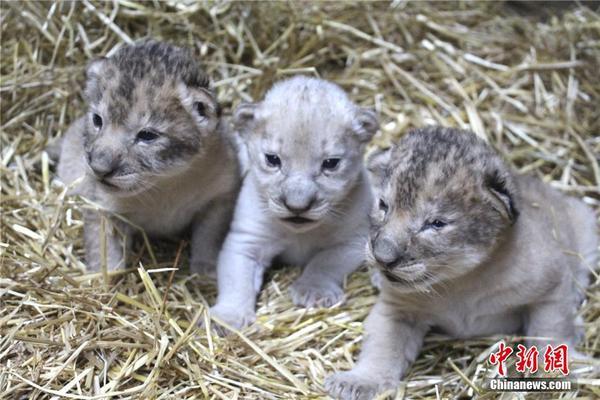 母狮一胎生3只宝宝 罕见出现一头小白狮
