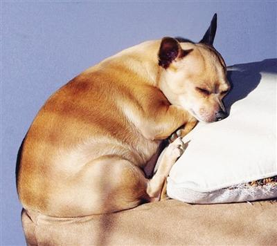 文信 许多爱宠心切的主人生怕宠物吃不好受委屈而喂食过多,将这些小动物养成了体重严重超标的肥胖宠物,而专家提醒说,宠物与人类一样,也需要正常饮食、适当锻炼,而不是每天只能饱食终日。 肥胖不仅会给这些宠物造成身体负担,它们的寿命会比正常的动物短许多年,这也给那些真正关爱宠物的人士提了个醒:喂食要有度,锻炼不可少。