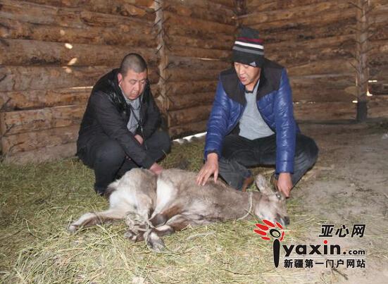 新疆裕民县救助一只国家一级保护动物北山羊|野生