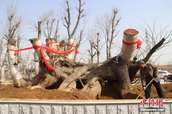 千年古槐树根盆景落地威海南海新区
