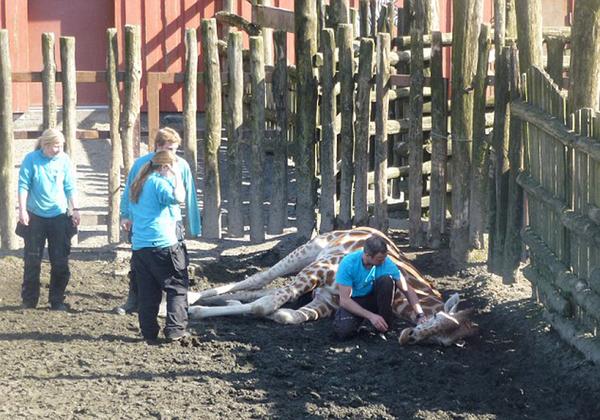 挪威动物园长颈鹿头卡围栏上