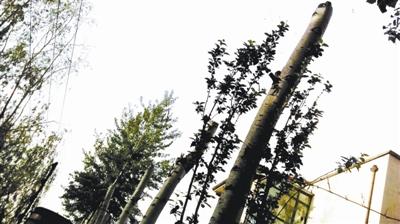 被损坏的小区树木摄影/本报记者