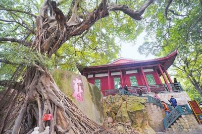 福州森林公园里的榕树王 本报记者本报记者 游庆辉游庆辉 摄摄