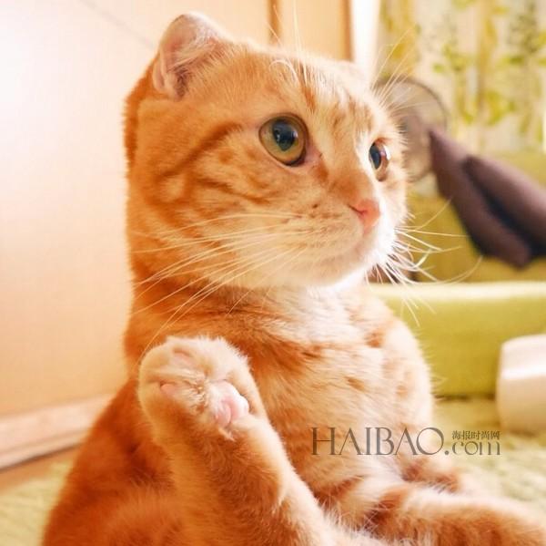 muta是一只来自日本的折耳猫,已经三岁了,是个boy,家庭成员中还有兄弟