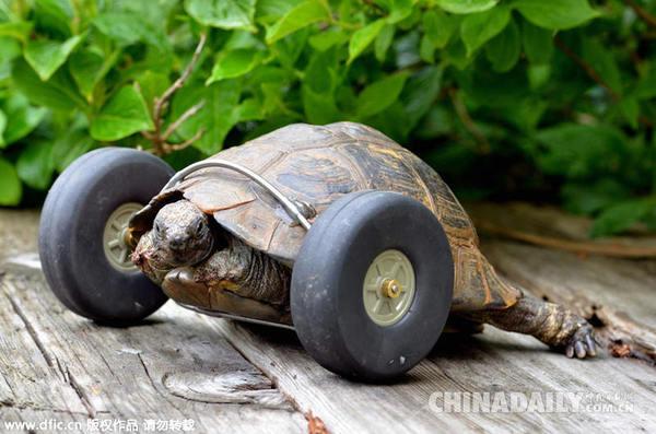 """主人为""""T夫人""""装上了一对从飞机模型上拆下来的轮胎,它现在的速度比原来快一倍。(图片来源:东方IC)"""