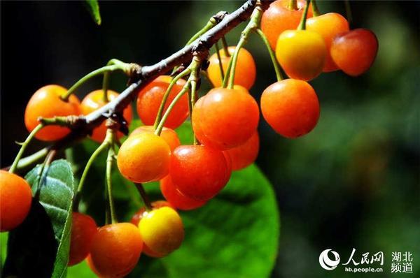 图为树上成熟的樱桃己无人问律了