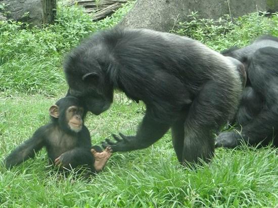 动物亲子互动 黑猩猩母亲用头磨蹭小猩猩(图)