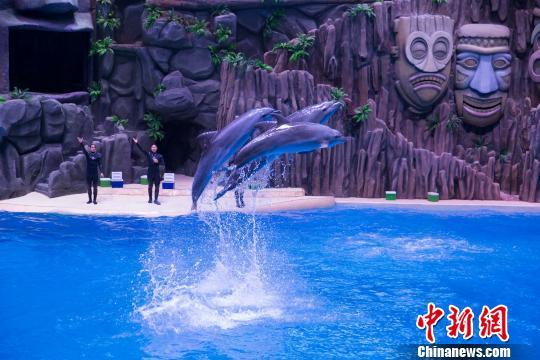 7日中午,珠海横琴长隆海洋王国副总经理张德录在新闻发布会上宣布,该司破解海豚繁育成功率低难题。图为该园的海豚表演现场。 邓媛雯 摄