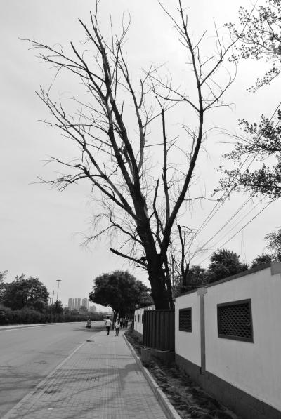 枯树常掉枝