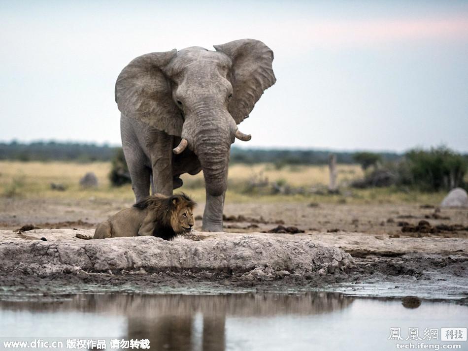 迟钝狮子趴水坑喝水 背后走来大象差点将其踩死