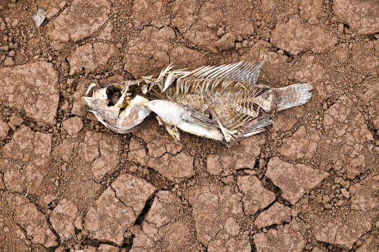 在湛江徐闻迈胜水库,一条鱼的尸体躺在龟裂的水库底面上