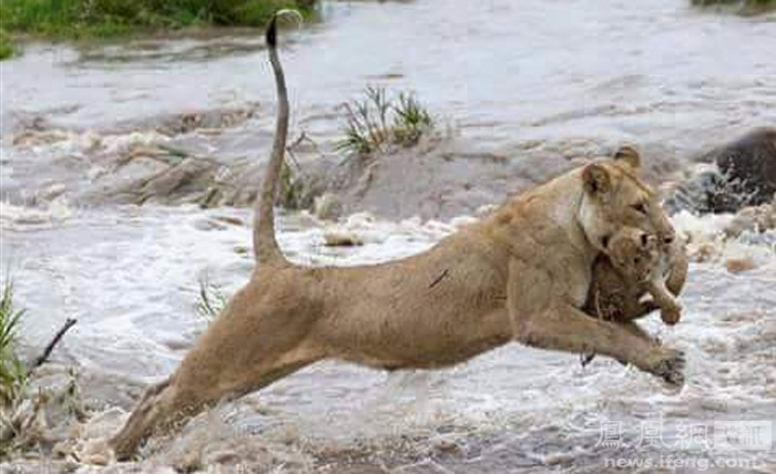 洪水中,母狮叼着幼狮逃生一幕 - 海阔山遥 - .