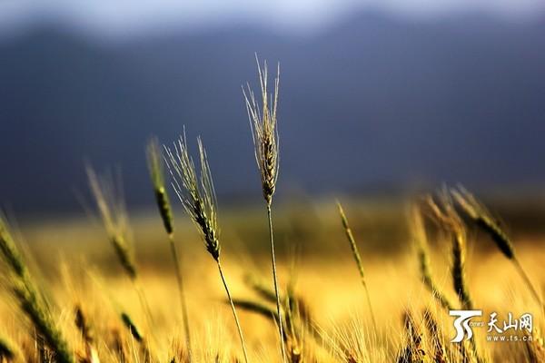 麦穗织法步骤图解