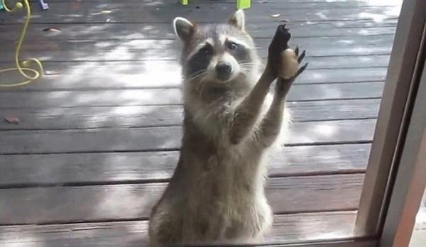 贪心小猫粮偷食物用更多砸门求石头图片(组图微信视频怎么加大小表情浣熊图片