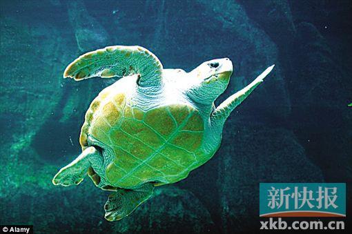 ■数量锐减的海洋生物种群包括上图中的棱皮龟.-全球海洋物种种群过
