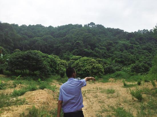 东莞观音山果树侵林十数年
