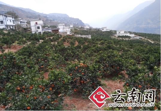 云南永善农业专业合作社注册资金达4.9亿元 带