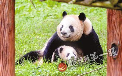 动物园新生大熊猫请你取名字