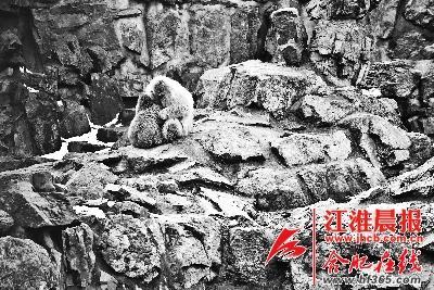 合肥野生动物园内,两只雪猴相拥取暖