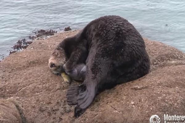 野生海獭生产过程被拍下 视频截图 参考消息网3月8日报道 台媒称,加州蒙特雷海岸水族馆(Monterey Bay Aquarium)捕捉到奇迹画面,一只野生的海獭妈妈渡过海上的暴风雨,选定水族馆里的大浪池做产房,在所有游客和工作人员面前努力生下宝宝,并且慈爱地舔舐着帮宝贝保暖。 据台湾东森新闻云3月8日报道,海獭属于濒危动物,水族馆的研究员为了保育费尽心思,如今亲眼见证生命诞生,各个都感动得热泪盈眶。 报道称,这只海獭妈妈5日上午出现在池子里,到了下午她开始阵痛,一下在石头上翻身,一下又到水里放松