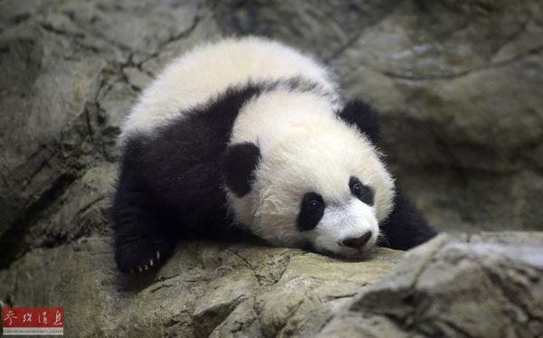 """大熊猫幼崽""""贝贝""""(资料图片)"""