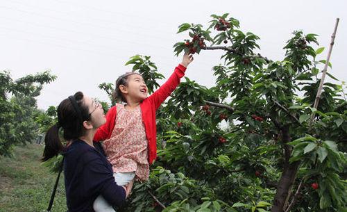 北京樱桃好吃自己采 尝鲜就到海淀来