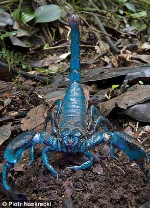 巨大,但主要以白蚁和其他小型无脊椎动物为食.它的毒牙对人类也图片