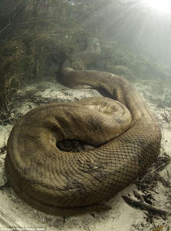 近距离实拍巨蟒活吞整只狗 盘点巨蟒精彩照