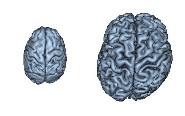 黑猩猩(左)和人类(右)大脑结构对比.人类大脑存在更明显的不对称形.图片