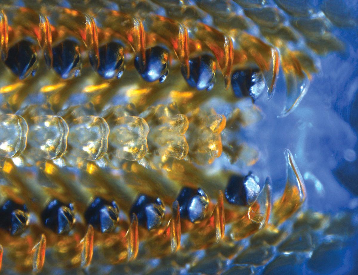 石鳖长有史上最坚硬牙齿 发光的黑色金属牙齿