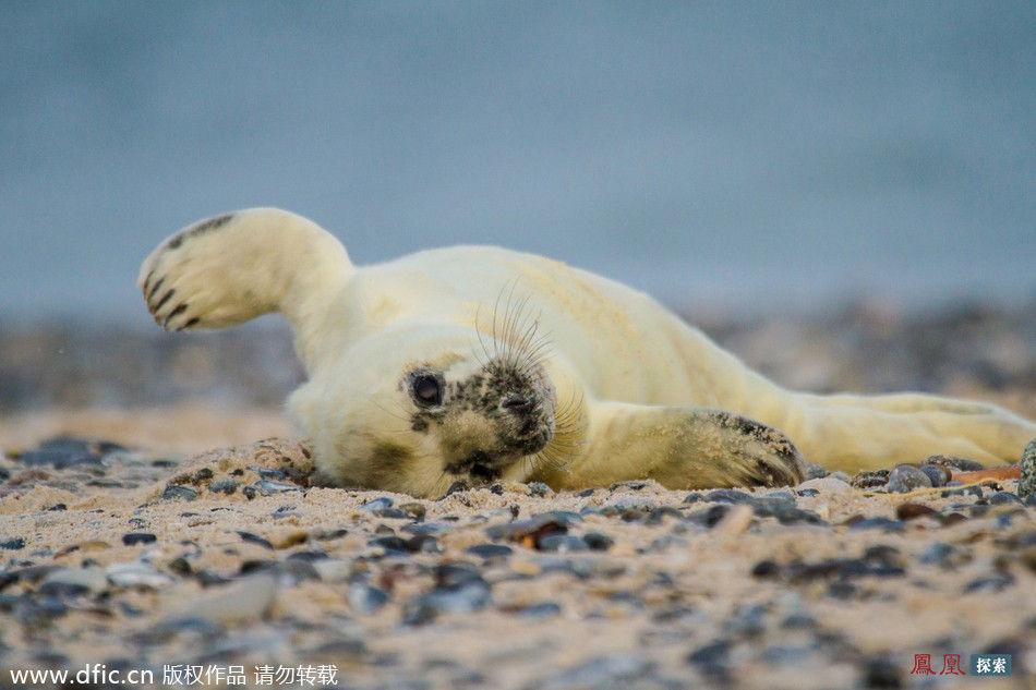 当地时间2014年2月12日,德国赫里戈兰,摄影师Jeannette Rudloff在海滩边游玩的时候,偶然注意到了一只可爱的小海豹。这只才出生两天的海豹居然已经懂得享受阳光沙滩的乐趣,而且还懂得友好地向人们挥手打招呼。看来动物的智慧也是不能小觑的呢! 图片来源:东方IC 搬迁图片请勿转载! 来源:凤凰科技
