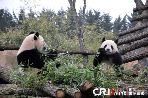 """赴法大熊猫""""欢欢""""""""圆仔""""没有窝头改吃饼干(组图)"""