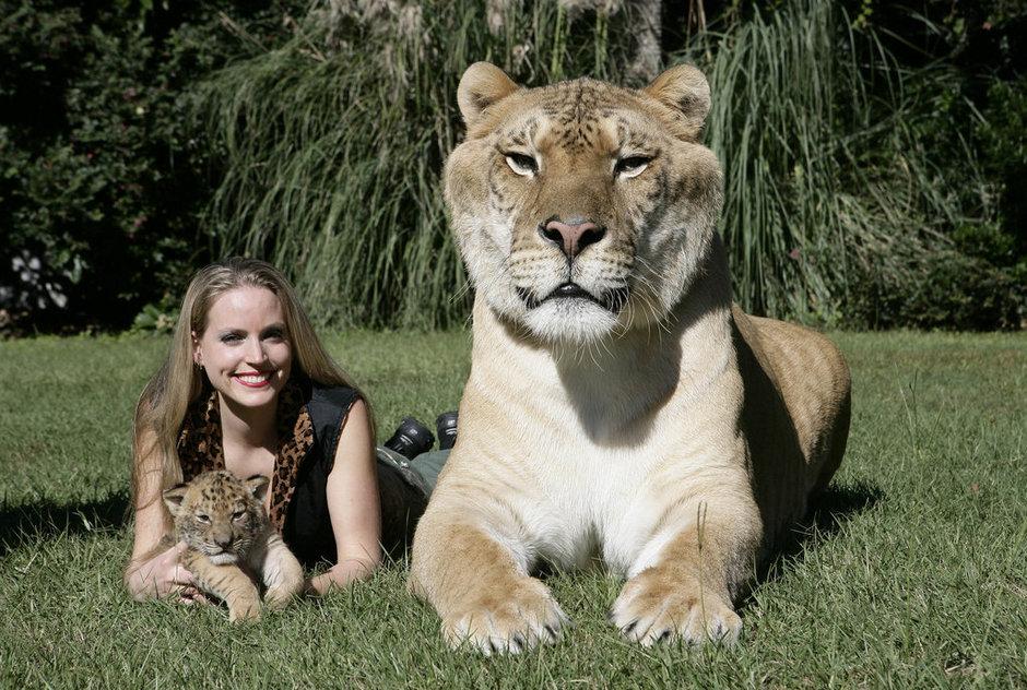 美国狮虎兽成世界最大猫科动物 重408公斤[高清大图]