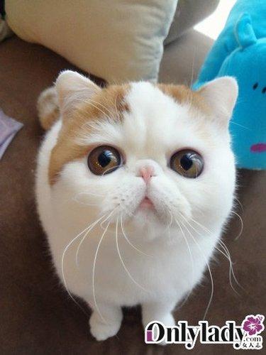 秒杀猫叔 成都超萌加菲猫爆红网络
