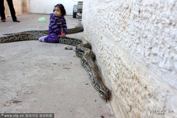 巴勒斯坦少年肩扛巨型大蟒蛇(组图)