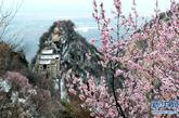 这是桃花映衬下的华山北峰(4月12日摄)。近日,西岳华山上一树树一簇簇的桃花绽放,远远望去红的似火,粉的如霞,白的像雪,云蒸霞蔚。华山海拔高,四月中旬也时常伴有中雪,争奇斗艳的桃花在白雪皑皑的映衬下,造就了一个亦真亦幻的美丽世界。新华社记者陶明摄