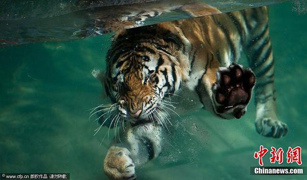 美国一动物园内猛虎潜水霸气十足