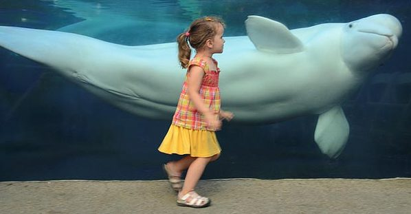 美国三岁小女孩水族馆获白鲸亲吻