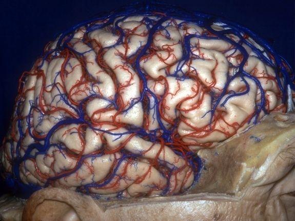 小慎入 人类大脑的三维解剖图