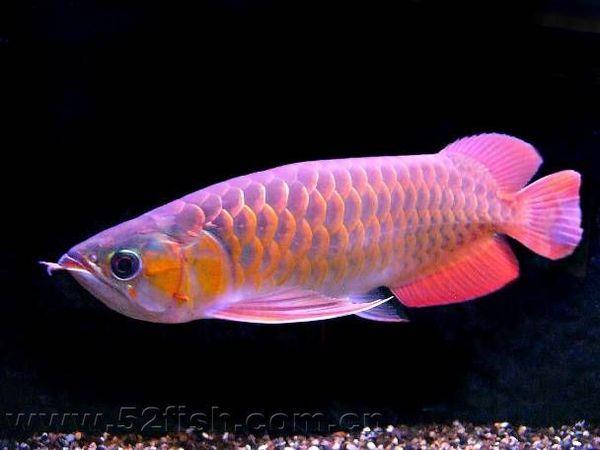 红龙鱼图片_辣椒红龙鱼图片_红龙鱼价格及图