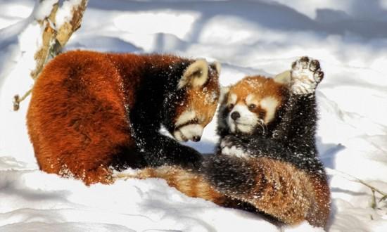 美动物园小熊猫雪中嬉闹打滚逗趣