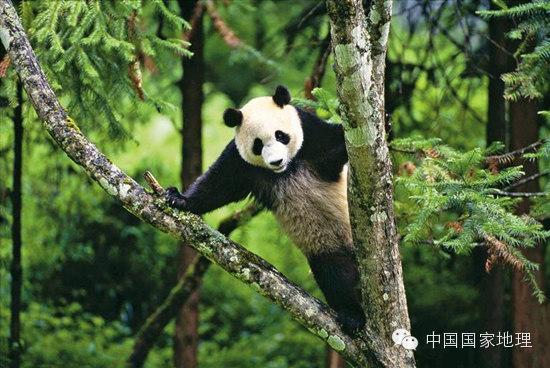 它们身上依然流着食肉动物的血,在秦岭的野生熊猫栖息地,还曾有过熊猫