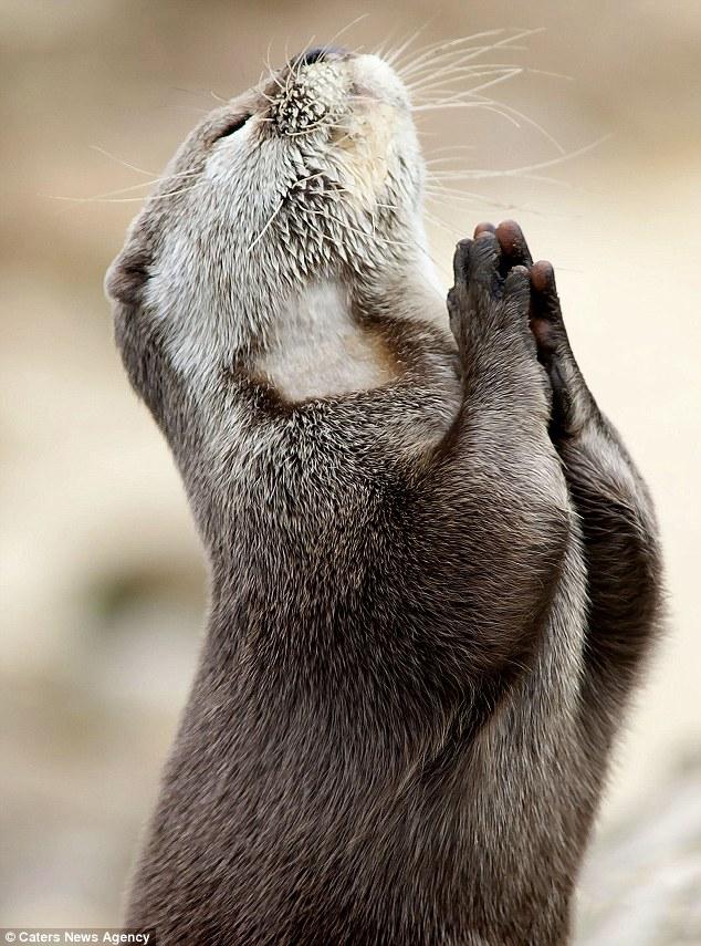 可爱水獭双手合十如同祈祷