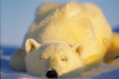 探险家阿莫斯·纳楚姆在北极巴芬岛拍摄到的北极熊睡觉的画面.