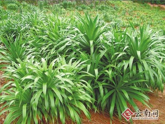 人工种植的龙血树树苗 云南大学 王兴红 供图