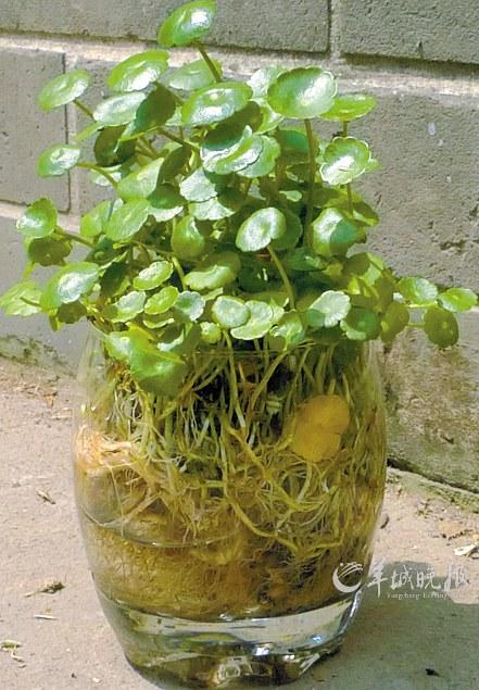 实习生 夏碧莉 吴嘉雯 水培是一种植物无土栽培方式,与传统盆栽种植的
