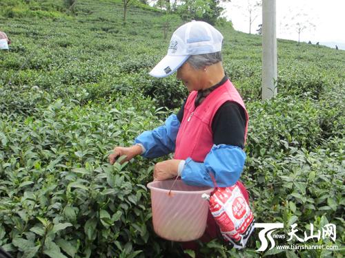 """""""原来茶叶树是这样子的,采摘茶叶这么有趣.""""对于采茶,大家充满了好奇."""